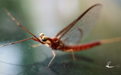 Shadflies emerge early from Lake Nipissing, photo contest prize value tops $300